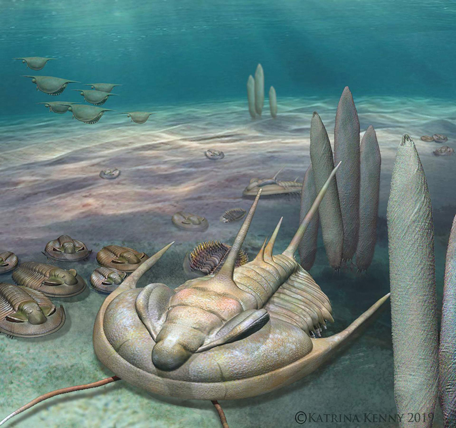 An artist's impression of Redlichia rex on the Cambrian seafloor. Image credit: Katrina Kenny.