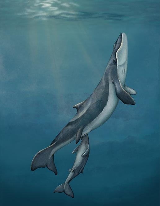 An artistic reconstruction of a mother and calf of Maiabalaena nesbittae nursing offshore of Oregon during the Oligocene, about 33 million years ago.Alex Boersma