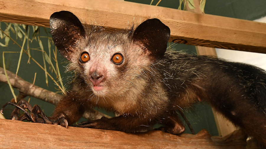 An aye-aye. (Image: David Haring/Duke Lemur Centre)