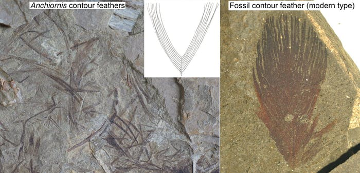 Anchiornis had feathers whose barbs didn't zip together like modern birds' feathers.