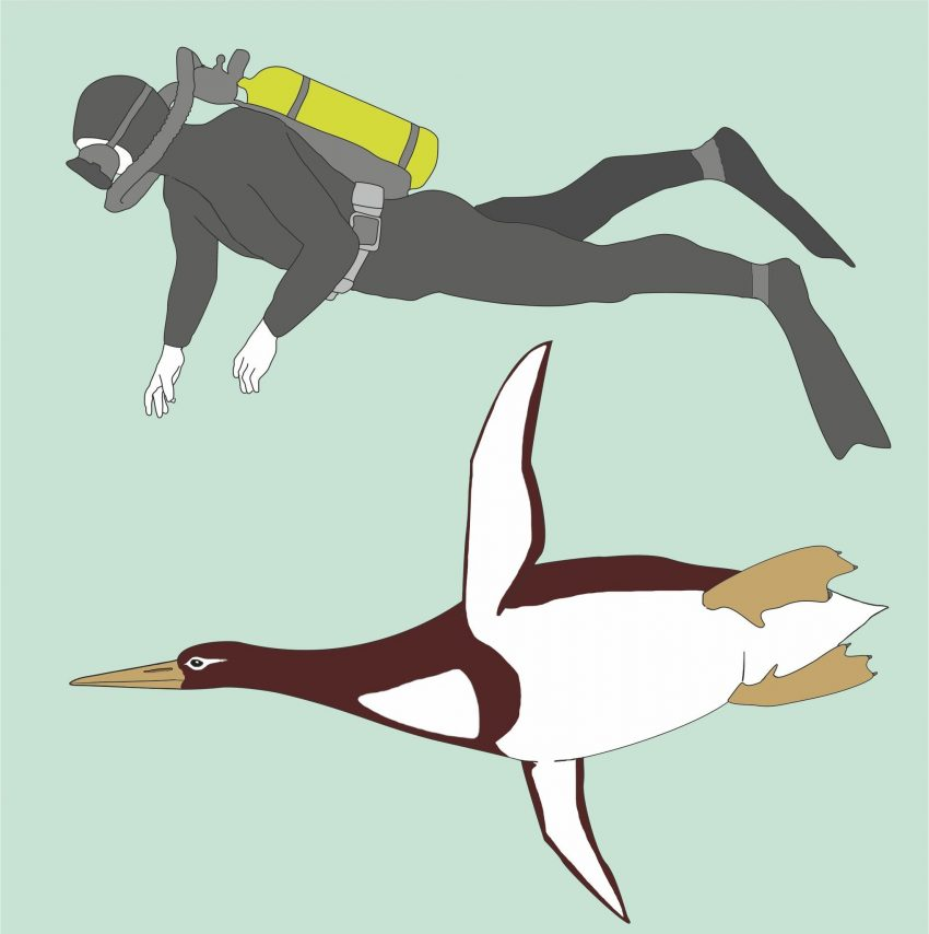 An artist's rendering compares Kumimanu biceae, an extinct giant penguin, to a human diver. Kumimanu stood 5 feet 7 inches and weighed 220 pounds. It is among the earliest known penguin species. Credit G. Mayr/Senckenberg Research Institute