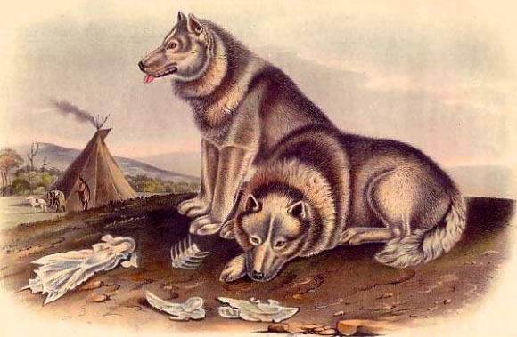 'Pre-contact' American dogs, which arrived alongside people over 10,000 years ago and dispersed throughout North and South America, possessed genetic signatures unlike dogs found anywhere else in the world. Illustration by John James Audubon and John Bachman (1845-1848).