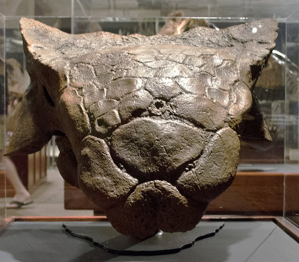 Cast of Ankylosaurus skull (AMNH 5214) in front view, Museum of the Rockies