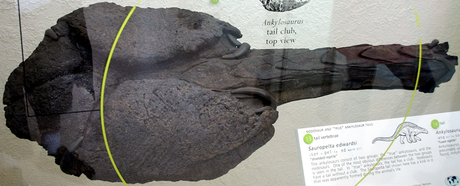 Only known tail club (AMNH 5214), American Museum of Natural History
