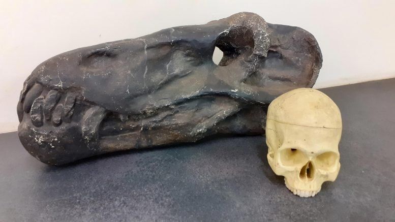 The skull of Anteosaurus compared to a modern human. Credit: Wits University