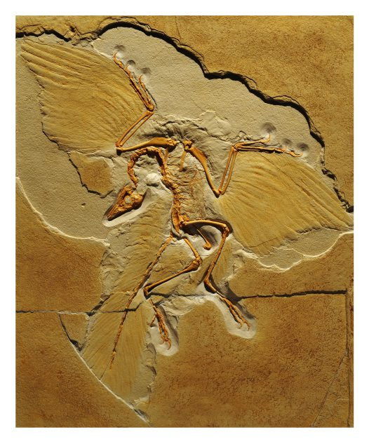 Archaeopteryx lithographica Origin: Germany Late Jurrasic 155 – 150 million years ago