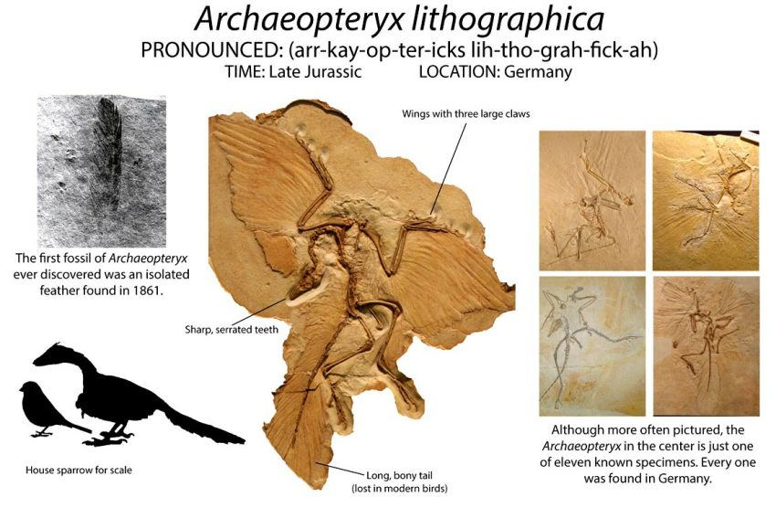 In life, Archaeopteryx was a toothy predator about the size of a modern crow. He surveyed the landscape of what is now Germany about 150 million years ago, close to the same time that Brachiosaurus and Stegosaurus were stomping around the American West. It's unclear how good he was at flying, as the bones of his chest were not well developed for flight muscles. He shared the skies with a huge array of pterosaurs, the flying reptiles like Pterodactylus.