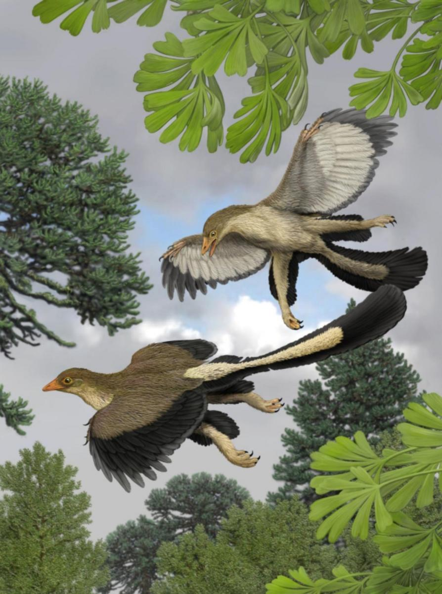 An artist's impression of what Archaeopteryx lithographica, one of the earliest known birds, would have looked like in flight. Image credit: Carl Buell / Nicholas Longrich.