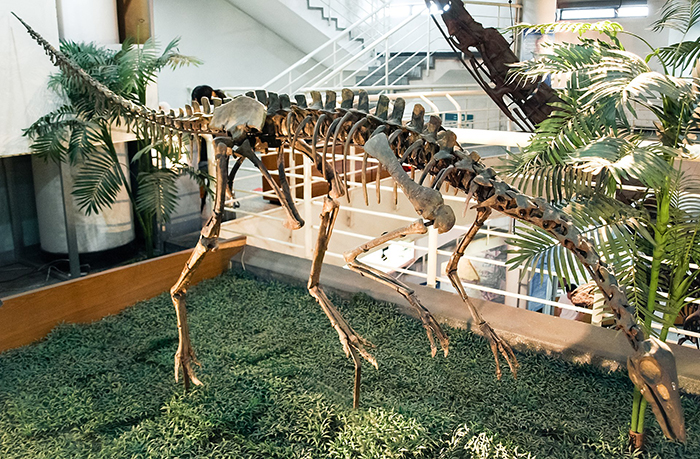 Archaeornithomimus asiaticus skeleton mounted at the Paleozoological Museum of China.