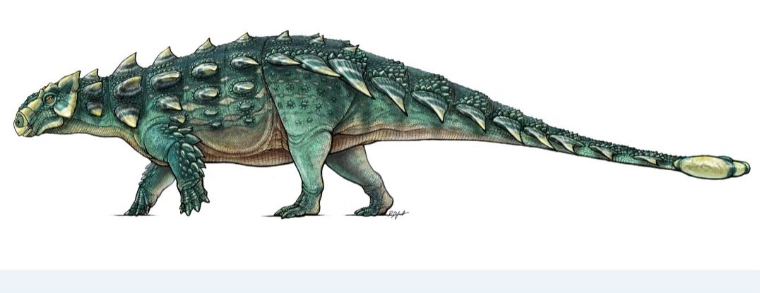 Artist's drawing of Zuul crurivastator, a species of ankylosaur that was first discovered in Montana in 2014. (Danielle Dufault/ROM)