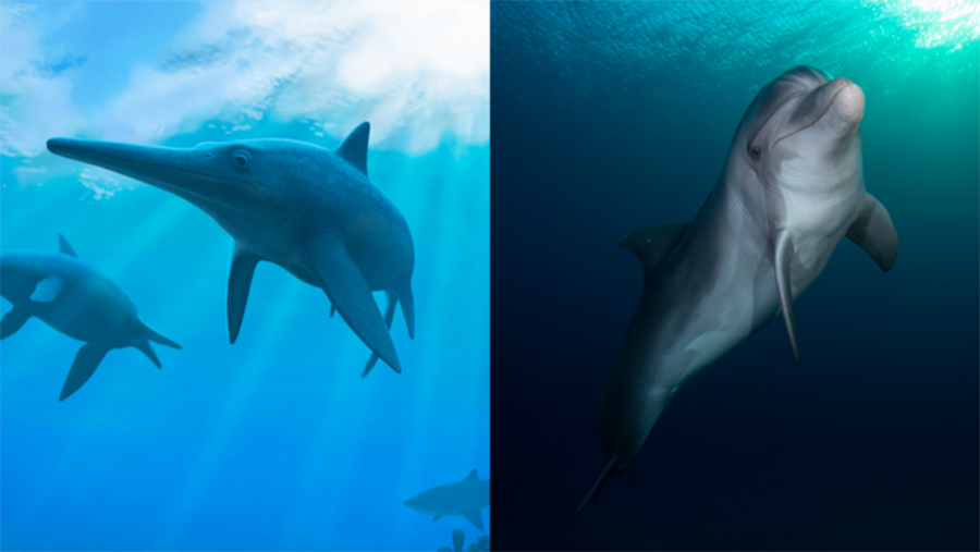 Left: Artist's impression of extinct ichthyosaurs. Right: A modern dolphin. (Image: Andrey Atuchin/ טל שמע (Wikimedia Commons)