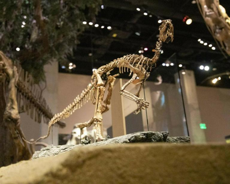 A Convolosaurus marri dinosaur skeleton photographed at the Perot Museum of Nature and Science on Tuesday, April 2, 2019. The tiny Texas dinosaur finally has a name nearly 35 years after its discovery among fossils collected at Proctor Lake in Comanche County, Texas. The bird-like and agile Convolosaurus marri comes from the largest trove of dinosaur fossils ever discovered in Texas. (Shaban Athuman/The Dallas Morning News via AP)