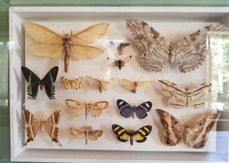 BURNED An estimated 95 percent of the National Museum's mounted entomology specimens, like these butterflies photographed earlier in 2018, were lost in the fire.
