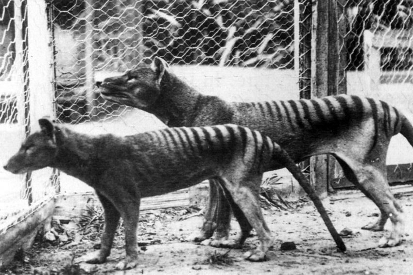 Back From the Dead? Jurassic Park Gene Technology Could CLONE Extinct Tasmanian Tiger