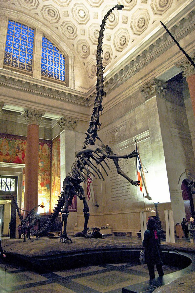 "The official postcard (of the American Museum of Natural History) says this is a Barosaurus, and that ""this unique freestanding mount is the only Barosaurus on view in the world"". This was true until the installation of another Barosaurus specimen at the Royal Ontario Museum. The adult specimen pictured is AMNH 6341, classified as Barosaurus lentus. The juvenile specimen (AMNH 7530), originally classified as a juvenile Barosaurus, has since been reclassified as a specimen of Kaatedocus siberi."