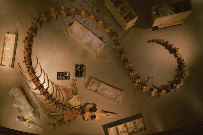 Bones of a Basilosaurus, a genus of early whales that lived in the Eocene, the second epoch of the Paleocene era. The fossil bones are shone here with the ribs in the foreground and the vertebrae behind. PHOTOGRAPH BY RICHARD BARNES