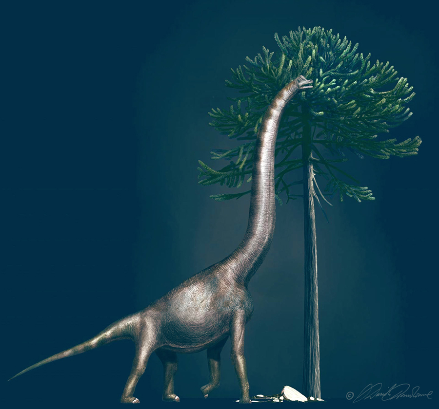 This illustration shows a Brachiosaurus eating from an Araucaria tree. These dinosaurs had enormous necks and relatively short tails. The animal to which the foot belongs was nearly 4 m high at its hip. Image credit: Davide Bonadonna.