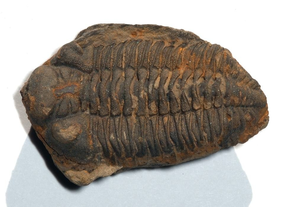 Brazilian researchers used biogeographic analysis to study trilobites, arthropods that became extinct over 252 million years ago. The study was published in Scientific Reports . Credit: complete specimen of Devonian trilobite Metacryphaeus caffer, fossilized/ Dlloyd, Wikipedia