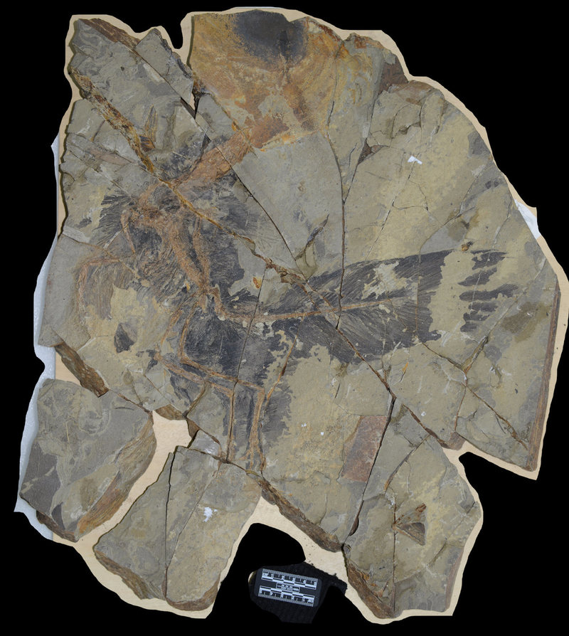 By examining the fossilized feathers under a microscope, researchers detected structures that hint at possible colors. COURTESY YU ET AL., 2018