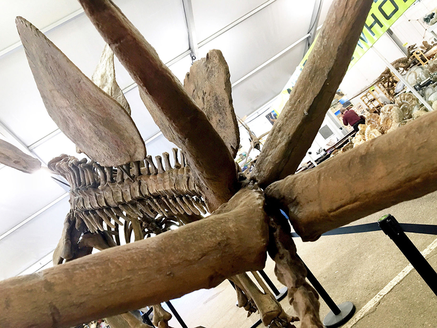 COURTESY PHOTO This close-up photo of the spiked tail and back places of a stegosaurus hints at the immense size of the fossil to be unveiled May 19 at the Royal Gorge Dinosaur Experience in Canon City.