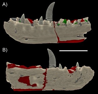CT Scan Data of the dentary of Megalosaurus bucklandii. Red is P1 and Green is P2. Wilson et al. 2018. A) Medial; B) Lateral.