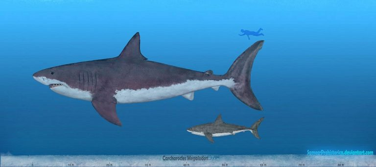 Carcharocles Megalodon by SameerPrehistorica