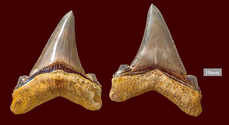 Carcharocles angustidens teeth. Image credit: Museums Victoria.