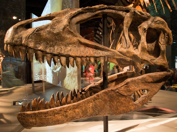 Carcharodontosaurus skull cast, Science Museum of Minnesota. Photo by Matthew Deery