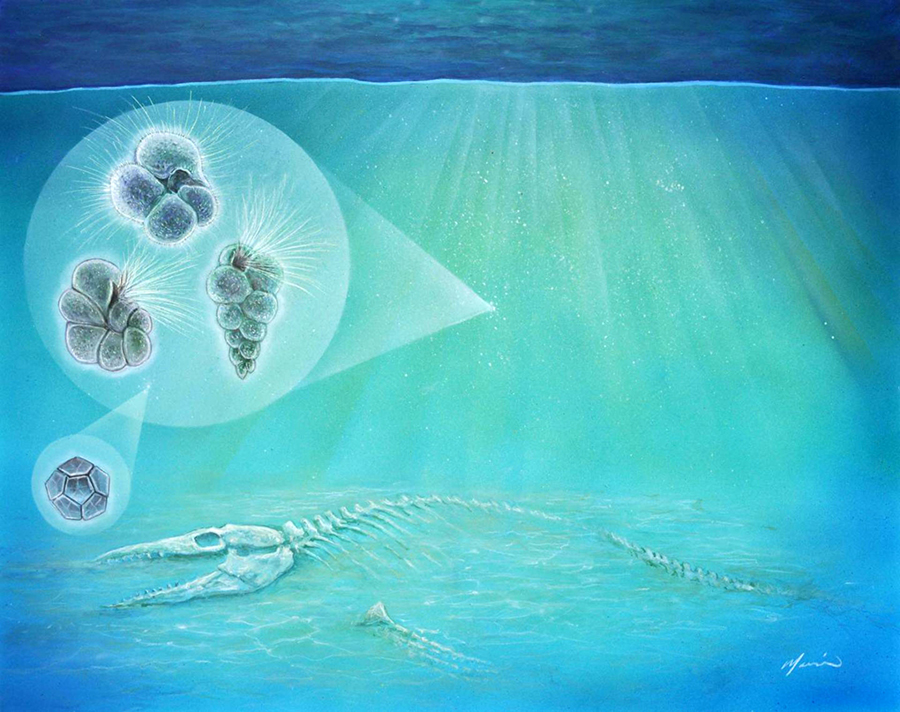 The three hair-covered forms (left) represent species of plankton found inside the crater. The geometric form (bottom left) is a species of algae. Small organisms like these moved into the crater so quickly that bones from animals that were killed by the impact, such as the mosasaur pictured here, may have still been visible. Image credit: John Maisano, University of Texas Jackson School of Geosciences.