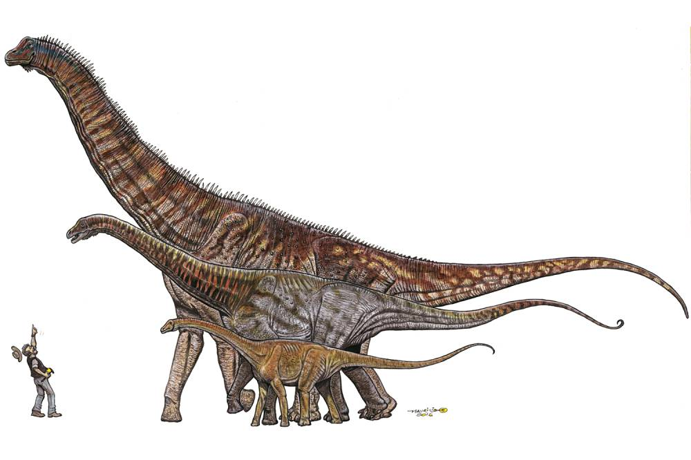 Comparisons between Brazilian dinosaurs, from smallest to largest: gondwanatitan (8 meters), maxakalisaurus (13 meters) and Austroposeidon magnificus (25 meters).