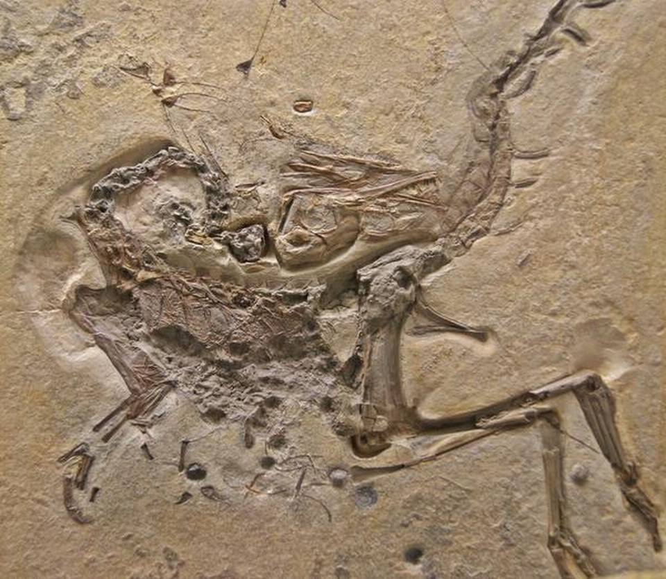 The fossil of Compsognathus longipes dinosaur found in Germany.