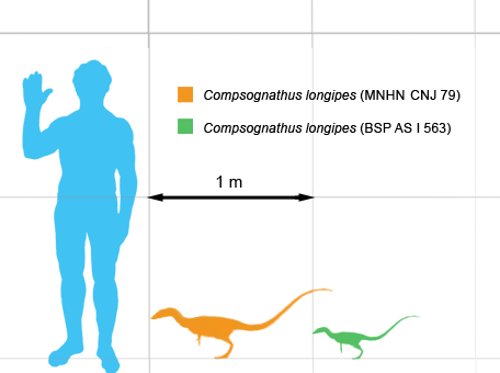 Size comparison of the French (orange) and German (green) specimens, with a human