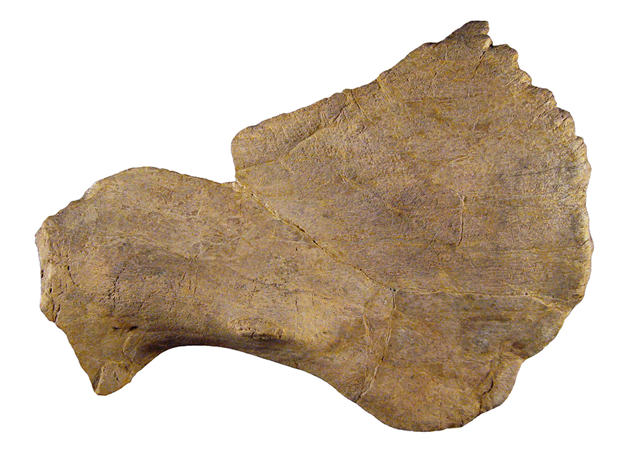 Crittendenceratops squamosal bone. Credit: New Mexico Museum of Natural History & Science