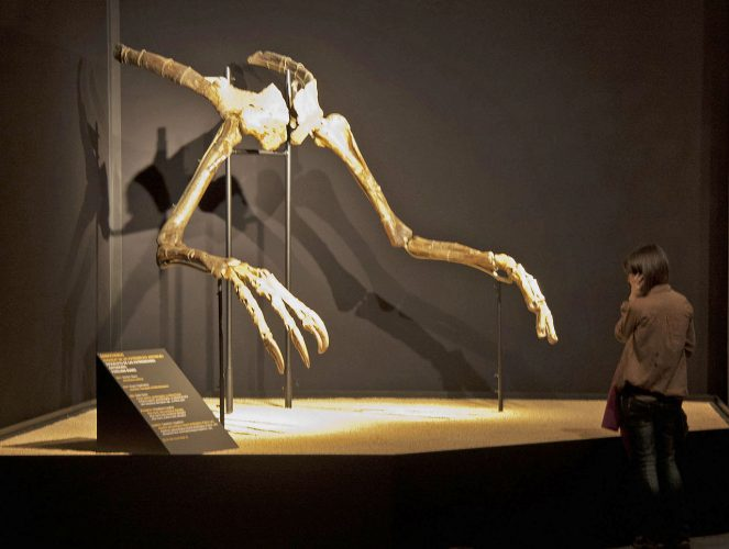 Deinocheirus hands: Holotype specimen MPC-D 100/18 on exhibit in Barcelona. Photo by Jordi Payà