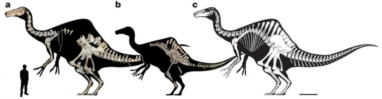 Deinocheirus mirificus.  a, MPC-D 100/127. b, MPC-D 100/128. c, Composite reconstruction of MPC-D 100/127 with a simple proportional enlargement of MPC-D 100/128. Scale bar, 1 m. The human outline is 1.7 m tall.