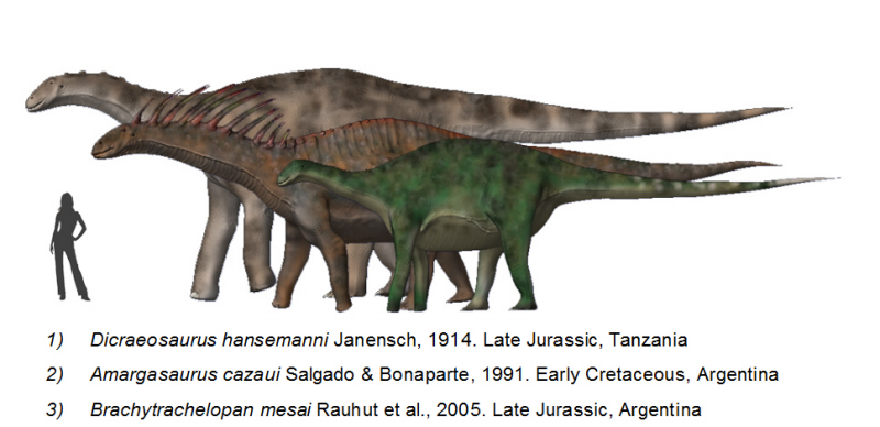 Size comparison between a human, Dicraeosaurus, Amargasaurus, and Brachytrachelopan by Nobu Tamura