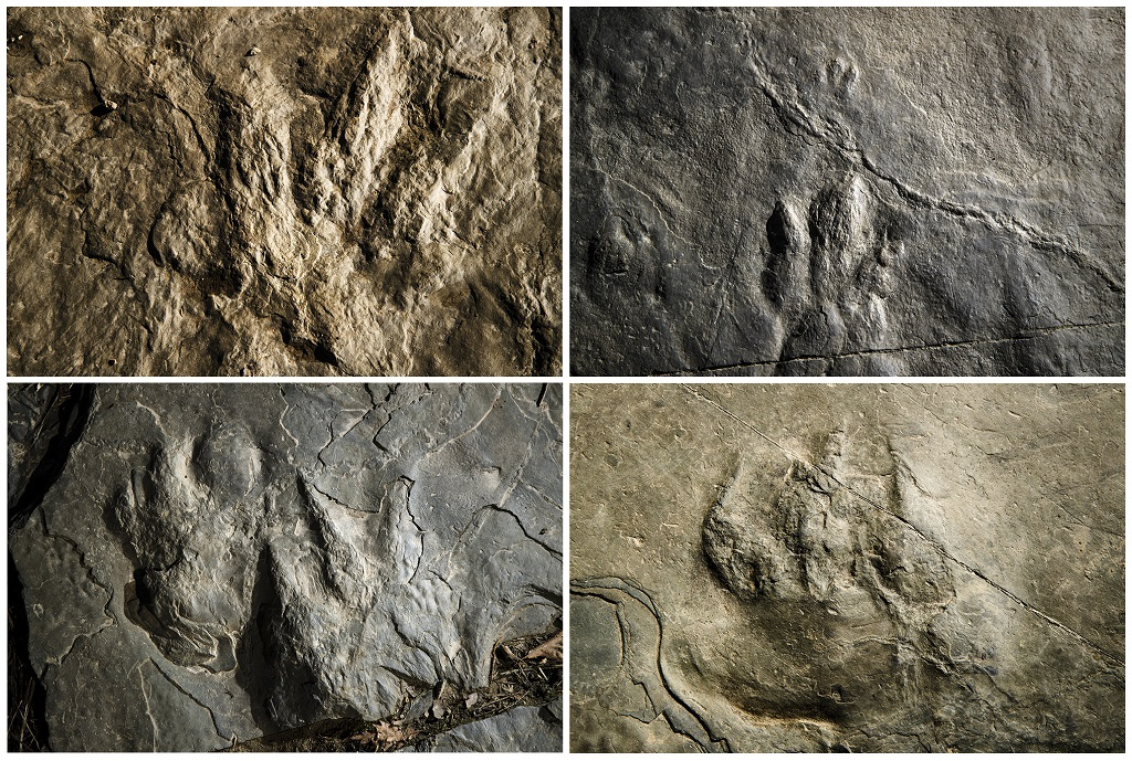 In this Feb. 28, 2019 photo combination shown are fossilized dinosaur footprints and a non-dinosaur reptile, lower right, a relative of the modern crocodile, on paving stones at the Valley Forge National Historical Park in Valley Forge, Pa. A volunteer at the park outside Philadelphia recently discovered dozens of fossilized footprints on flat rocks installed to pave a section of hiking trail. (AP Photo/Matt Rourke)