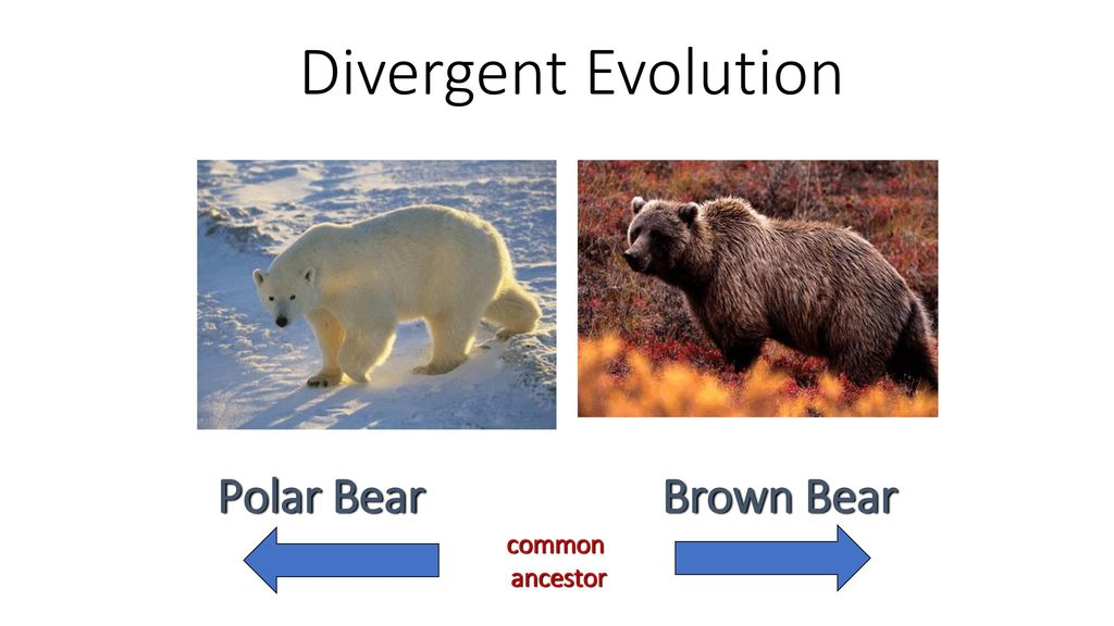 Divergent Evolution Polar Bear Brown Bear common ancestor
