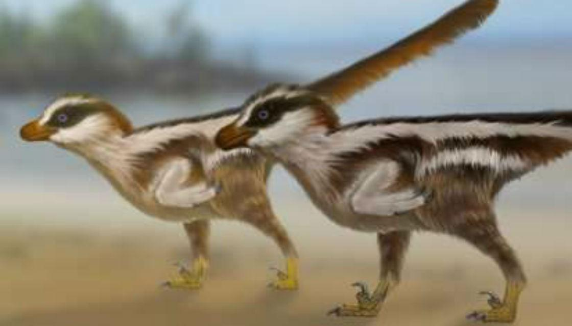 Dromaeosaur iformipes rarus. Photo credit: University of Queensland