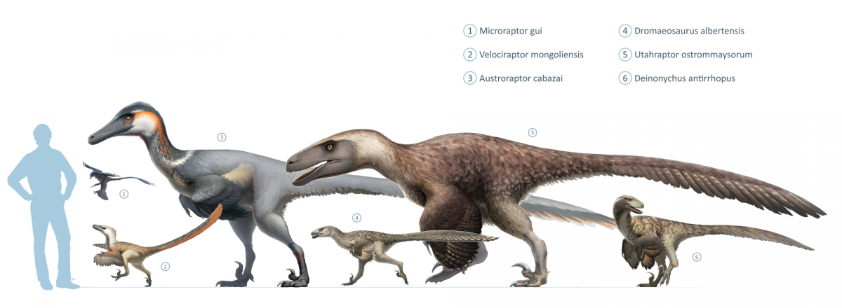 Size of Velociraptor (2) compared with other dromaeosaurs