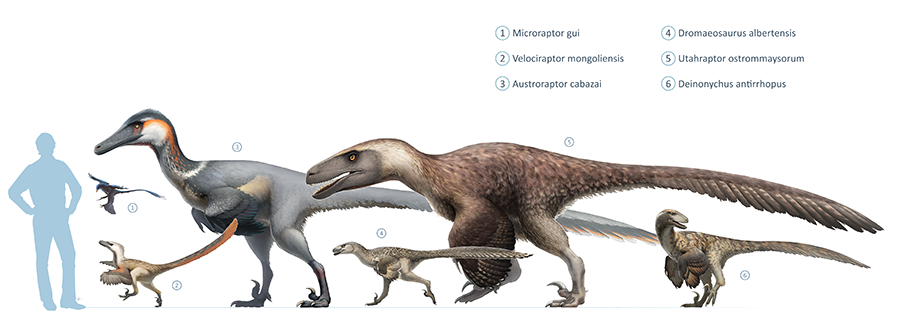 Size of Utahraptor (5) compared with other dromaeosaurs