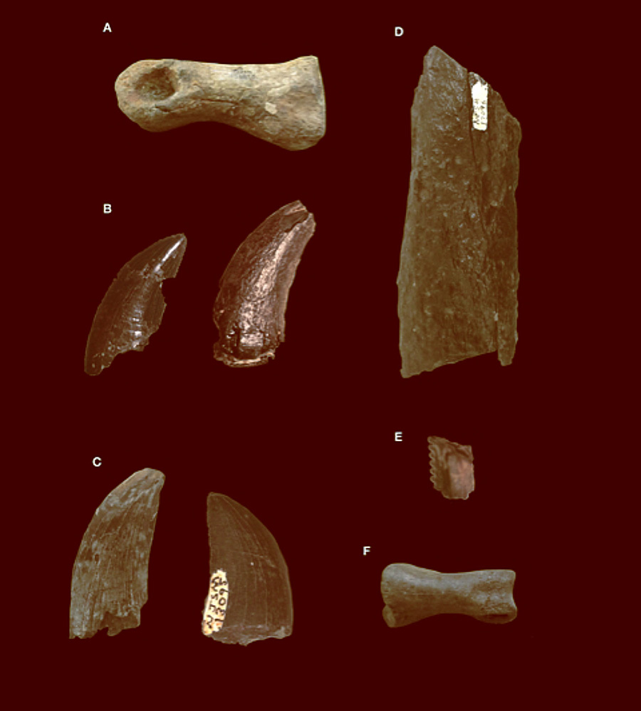 Ellisdale fossils: (A) foot bone of a tyrannosaur; (B) giant dromaeosaurid (raptor dinosaur) teeth; (C), tyrannosaur teeth; (D) limb bone of a theropod dinosaur; (E) partial tooth of a small dromaeosaurid (raptor dinosaur); (F) foot bone of an ornithomimosaur (ostrich dinosaur). Image credit: Chase D. Brownstein.