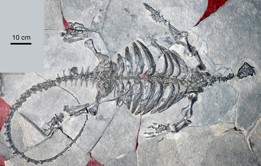 Photograph of the fossil turtle Eorhynchochelys sinensis. Image credit: Nick Fraser, National Museums Scotland.