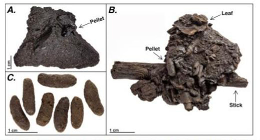 Example coprolites from Rancho La Brea (A) prior to asphalt removal with surrounding sediments, (B) showing intact pellets with plant material, (C) isolated, cleaned pellets. Figure 2, from: Mychajliw et al. 2020. Exceptionally preserved asphaltic coprolites expand the spatiotemporal range of a North American paleoecological proxy. Credit: Carrie Howard
