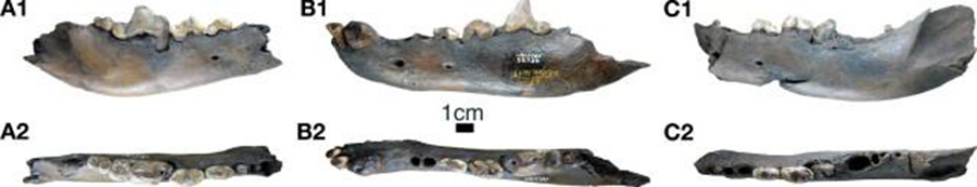 Examples of dentaries of Canis dirus from the late Pleistocene Rancho La Brea asphalt seeps bearing abscesses, alveolar resorption, and tooth fracture in the p4-m1 region similar to those in the pathological C. chihliensis dentaries. CREDIT: Mairin Balisi