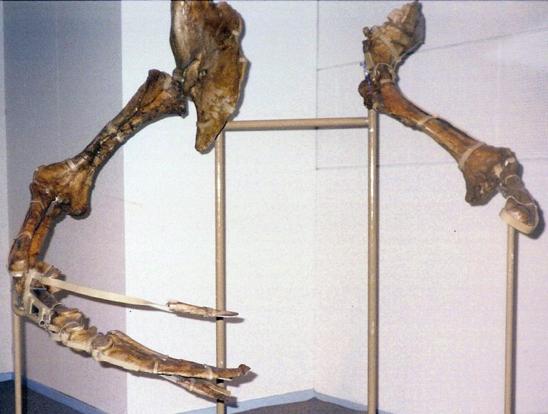 Fossil Therizinosaurus arms from Mongolia, exhibited in Experimentarium, Denmark. Author: FunkMonk