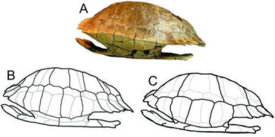 Though initially found in pieces, Gray Fossil Site preparator Shawn Haugrud was able to glue the shell of this species back together, enabling Penn's Steven Jasinski to complete an analysis of the turle. Jasinski named the species in Haugrud's honor. Credit: Image courtesy of University of Pennsylvania
