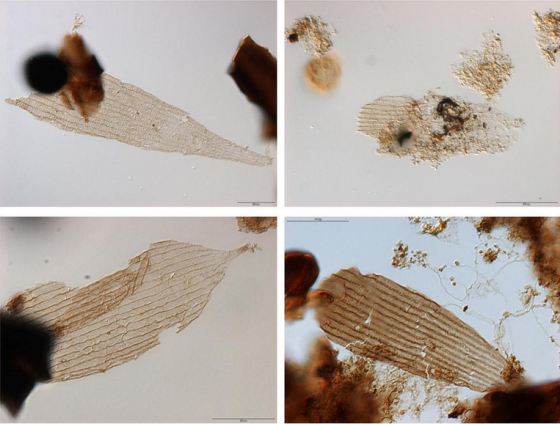 Examples of the oldest wing and body scales of primitive moths from the Schandelah-1 core photographed with transmitted light (magnification 630x). The scales are part of palynological preparations and occur together with fossil pollen grains and other organic plant remains. Size of the images (h) approx. 85 micrometer (w) approx. 65 micrometer.  CREDIT Bas van de Schootbrugge, Utrecht University