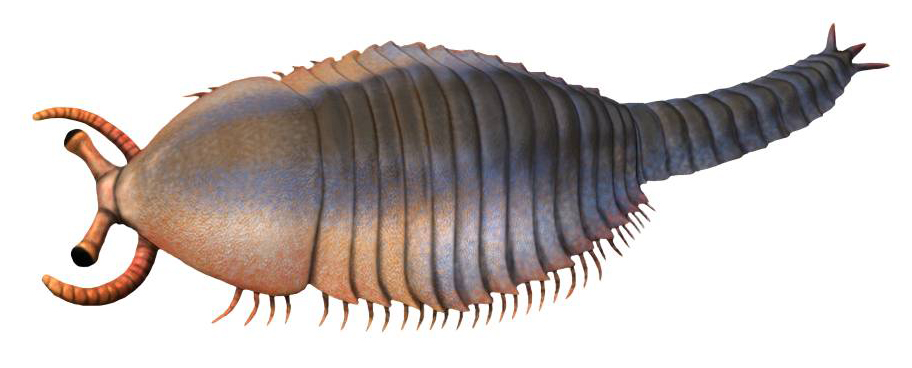 Restoration of the primitive Cambrian arachnomorph Fuxianhuia, one of the most basal members of the lineage that would eventually lead to both the chelicerates and the trilobites.