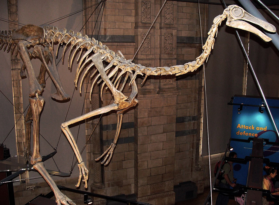 Reconstructed skeleton (based on the adult holotype and a juvenile specimen), Natural History Museum, London